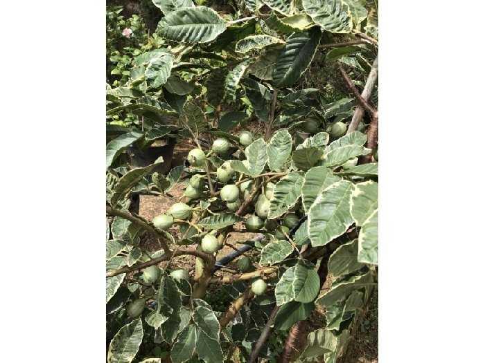 Cung cấp cây giống ổi cẩm thạch2
