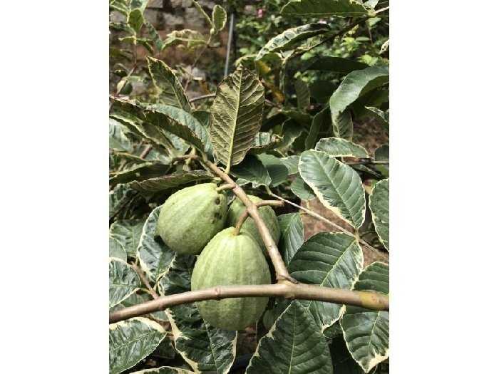 Cung cấp cây giống ổi cẩm thạch3