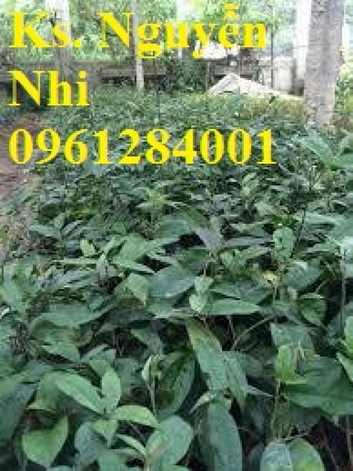 Cung cấp giống cây ba kích, ba kích tím, cây giống dược liệu,  số lượng lớn, giao hàng toàn quốc1