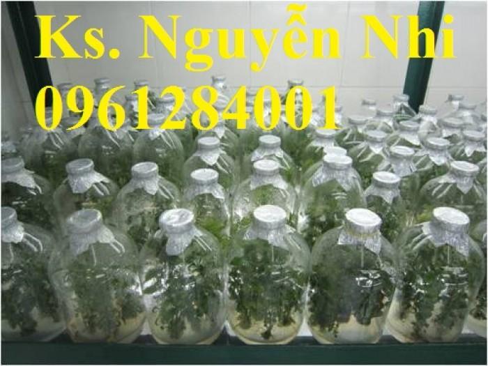 Cung cấp giống cây ba kích, ba kích tím, cây giống dược liệu,  số lượng lớn, giao hàng toàn quốc4
