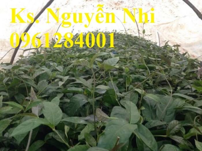 Cung cấp giống cây ba kích, ba kích tím, cây giống dược liệu,  số lượng lớn, giao hàng toàn quốc9