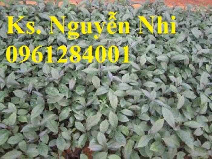 Cung cấp giống cây ba kích, ba kích tím, cây giống dược liệu,  số lượng lớn, giao hàng toàn quốc10