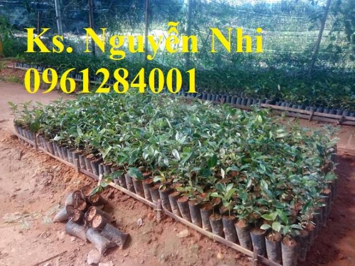 Cung cấp giống cây ba kích, ba kích tím, cây giống dược liệu,  số lượng lớn, giao hàng toàn quốc3