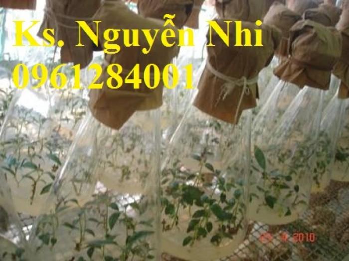 Cung cấp giống cây ba kích, ba kích tím, cây giống dược liệu,  số lượng lớn, giao hàng toàn quốc6