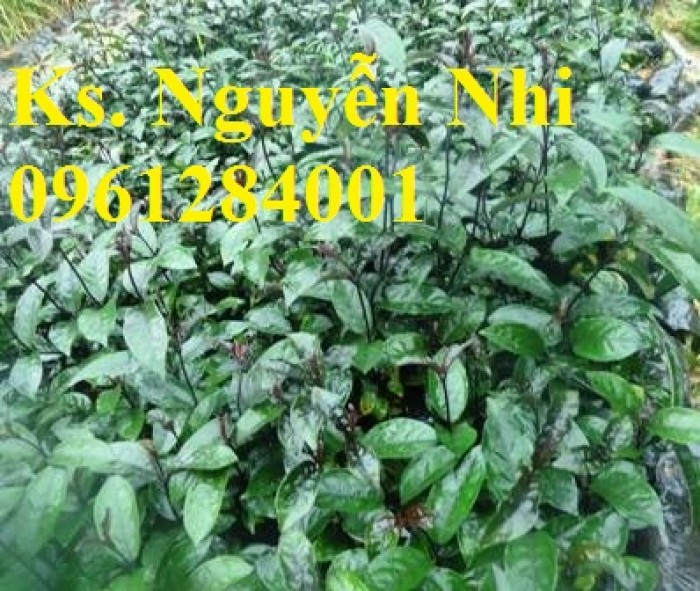 Cung cấp giống cây ba kích, ba kích tím, cây giống dược liệu,  số lượng lớn, giao hàng toàn quốc7