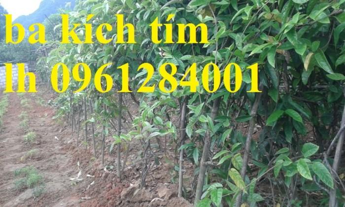 Cung cấp giống cây ba kích, ba kích tím, cây giống dược liệu,  số lượng lớn, giao hàng toàn quốc11