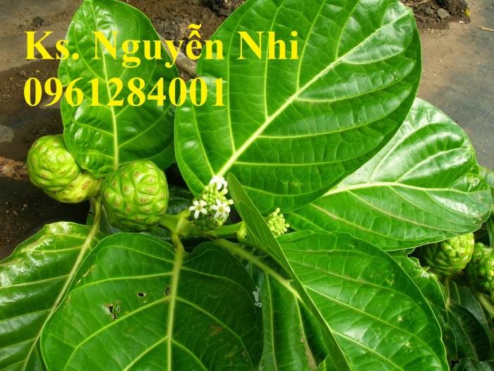 Cung cấp giống cây ba kích, ba kích tím, cây giống dược liệu,  số lượng lớn, giao hàng toàn quốc5