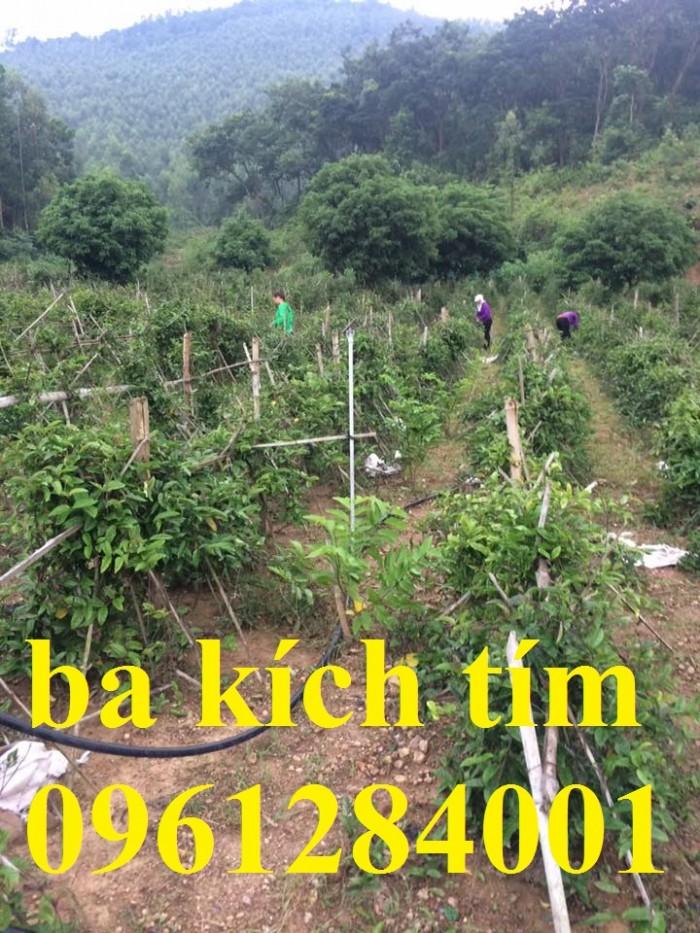 Cung cấp giống cây ba kích, ba kích tím, cây giống dược liệu,  số lượng lớn, giao hàng toàn quốc0