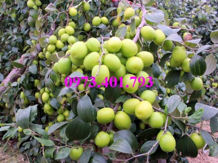 Giống cây Táo Đào Vàng, Táo Đào Vàng, cây Táo Đào Vàng, cây táo, kĩ thuật trồng táo đào vàng10