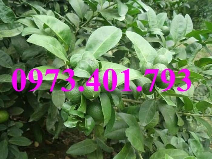 Các loai cây giống chanh11