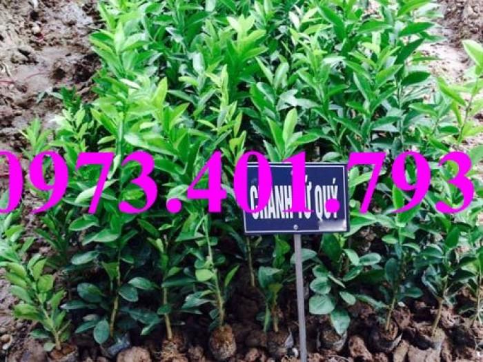 Các loai cây giống chanh12