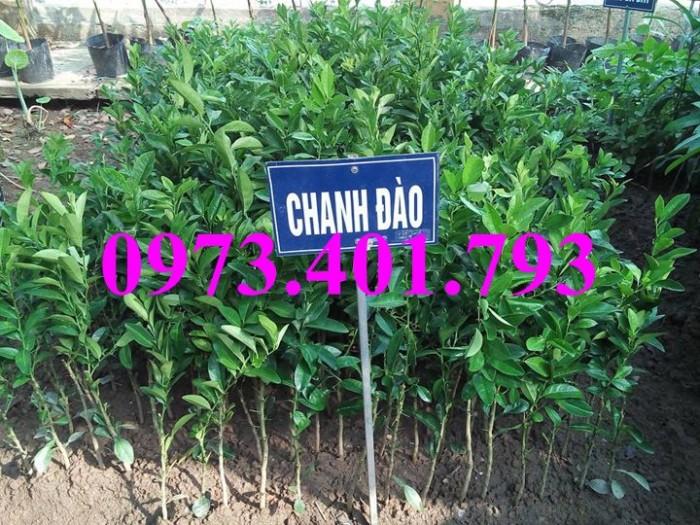 Các loai cây giống chanh18