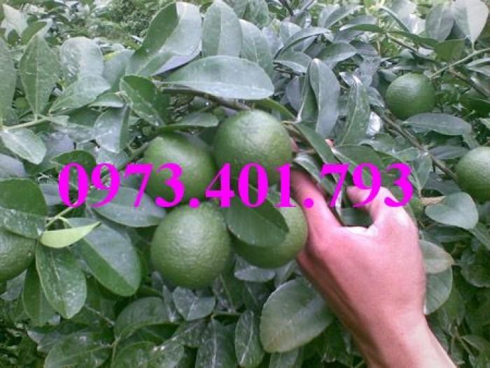 Các loai cây giống chanh21
