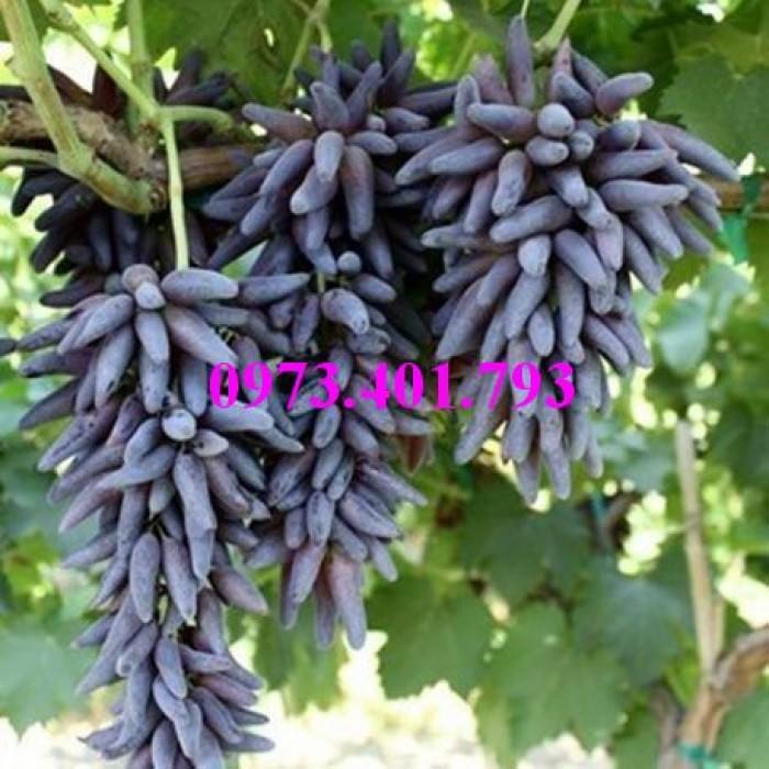 Các loại cây giống nho8