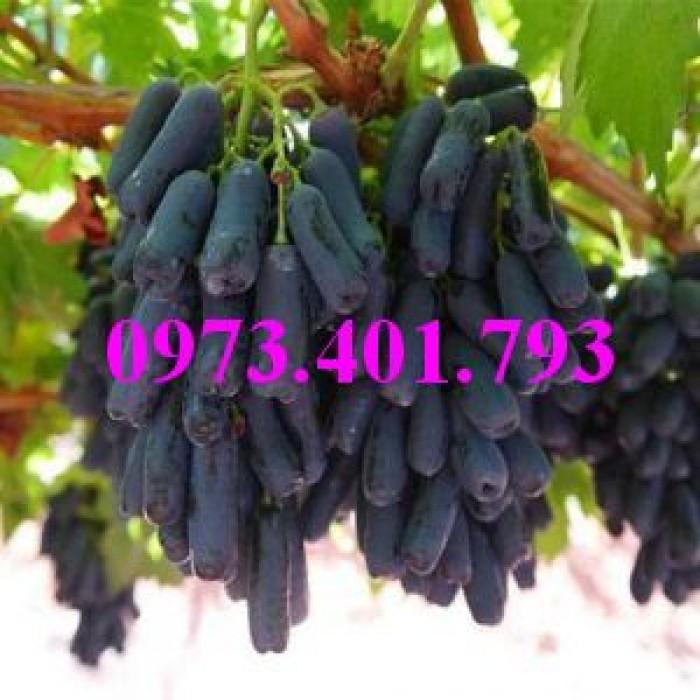 Các loại cây giống nho10