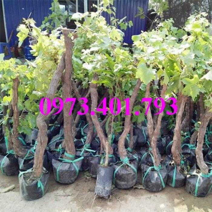 Các loại cây giống nho12