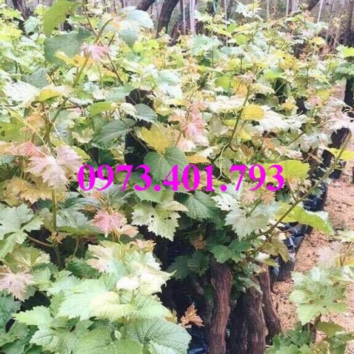 Các loại cây giống nho13