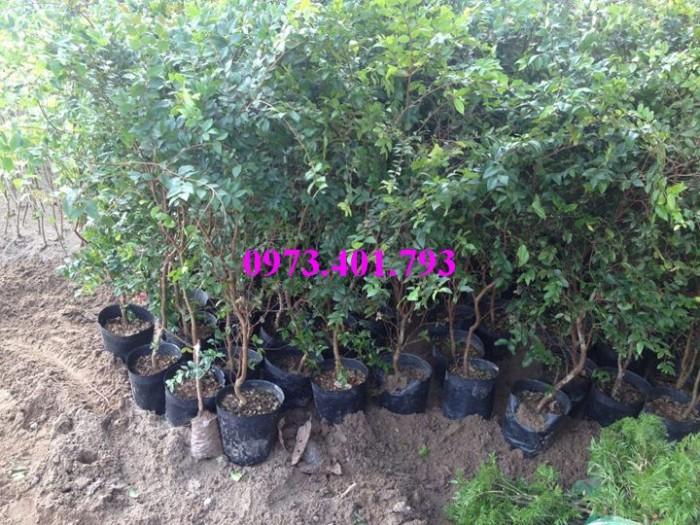 Các loại cây giống nho14