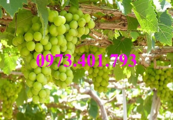Các loại cây giống nho16