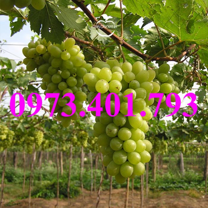 Các loại cây giống nho17