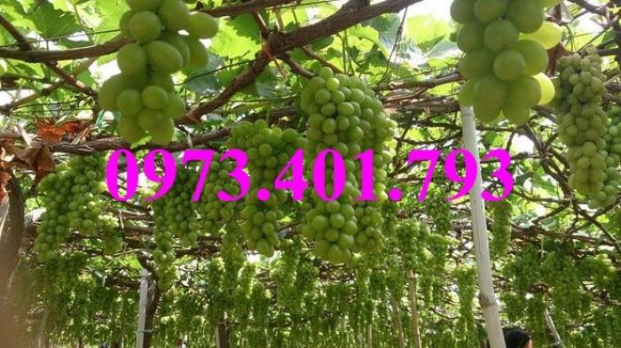 Các loại cây giống nho18
