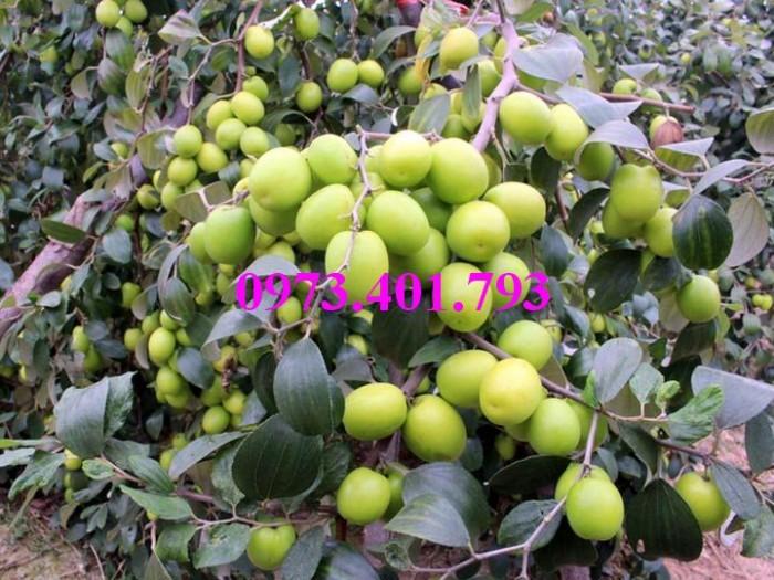 Các loại cây giống táo chất lượng8