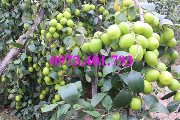 Các loại cây giống táo chất lượng7