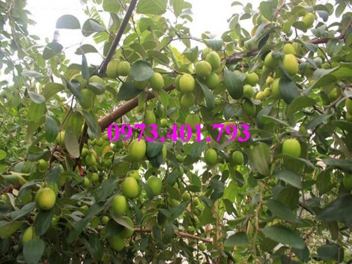 Các loại cây giống táo chất lượng9
