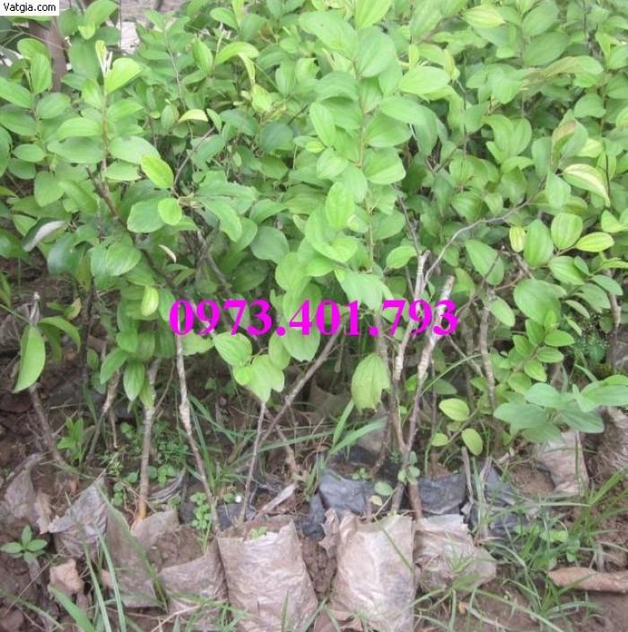 Các loại cây giống táo chất lượng16