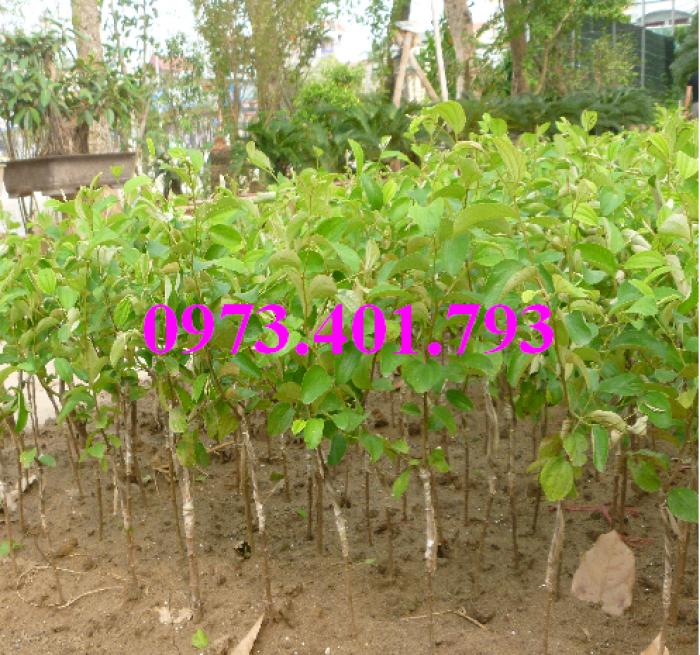Các loại cây giống táo chất lượng17