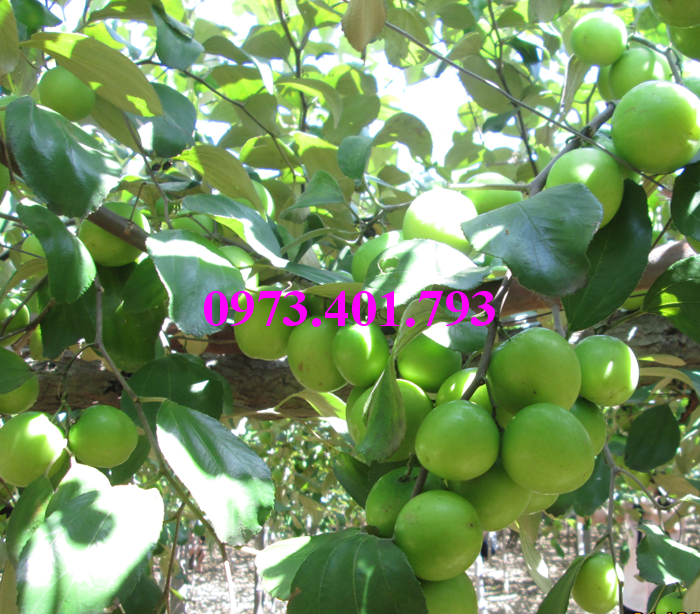 Các loại cây giống táo chất lượng18