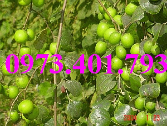 Các loại cây giống táo chất lượng19