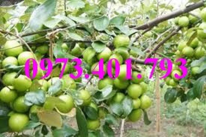Các loại cây giống táo chất lượng24