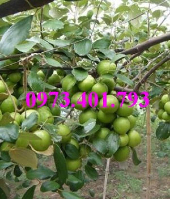 Các loại cây giống táo chất lượng27