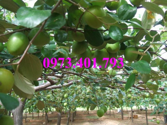 Các loại cây giống táo chất lượng26