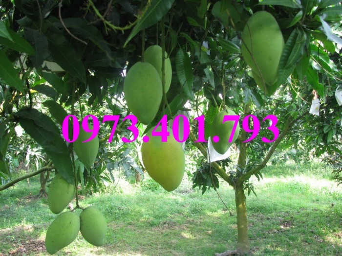 Các loại cây giống xoài13