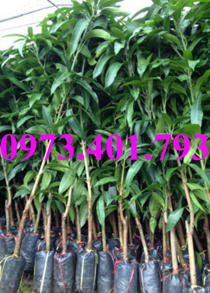 Các loại cây giống xoài21