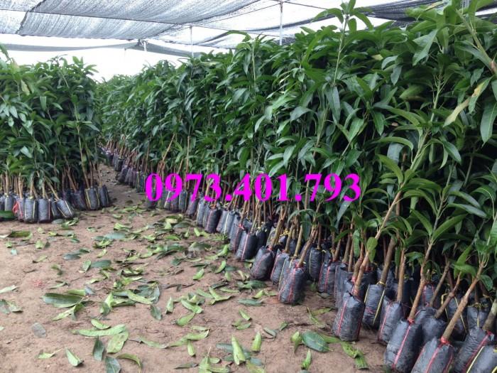 Các loại cây giống xoài26