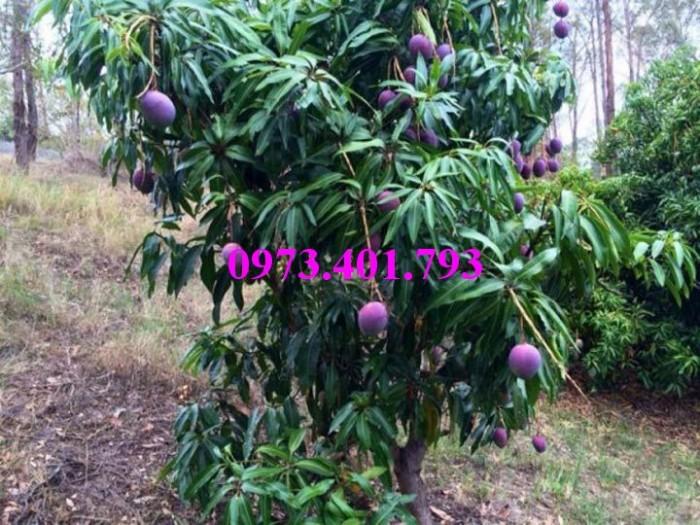 Các loại cây giống xoài28