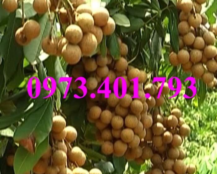 Chuyên Cung cấp các loại  giống cây nhãn uy tín, chất lượng13