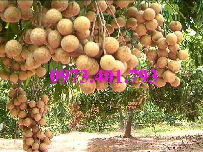 Chuyên Cung cấp các loại  giống cây nhãn uy tín, chất lượng14