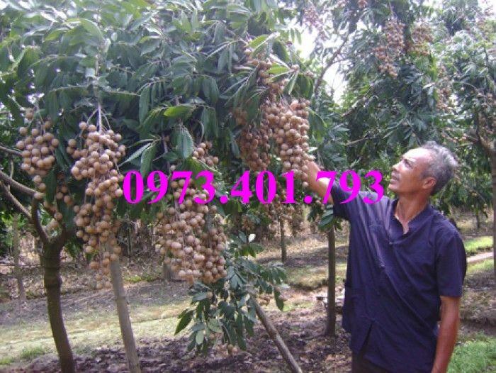 Chuyên Cung cấp các loại  giống cây nhãn uy tín, chất lượng15