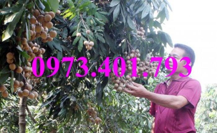 Chuyên Cung cấp các loại  giống cây nhãn uy tín, chất lượng16