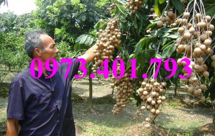 Chuyên Cung cấp các loại  giống cây nhãn uy tín, chất lượng17