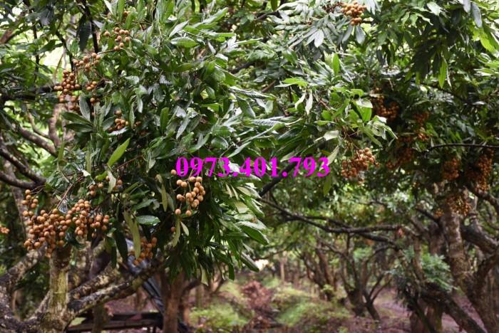Chuyên Cung cấp các loại  giống cây nhãn uy tín, chất lượng19