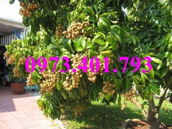Chuyên Cung cấp các loại  giống cây nhãn uy tín, chất lượng20