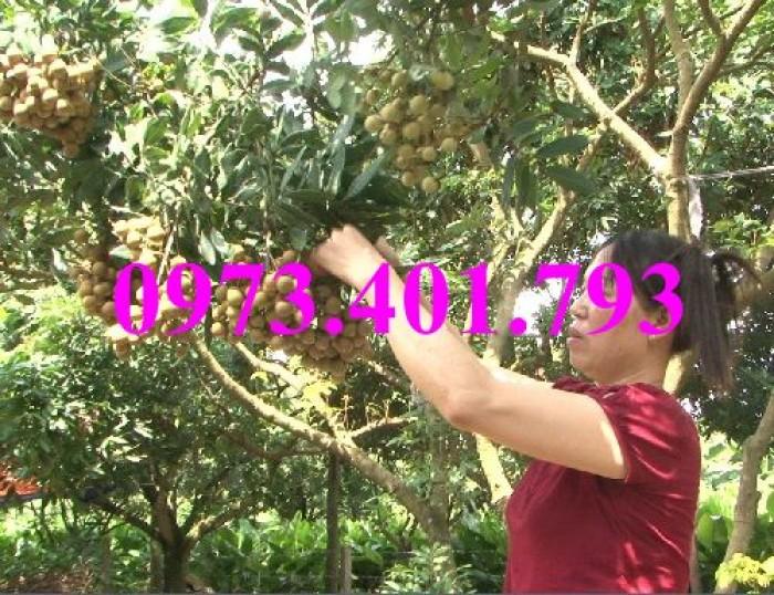 Chuyên Cung cấp các loại  giống cây nhãn uy tín, chất lượng21