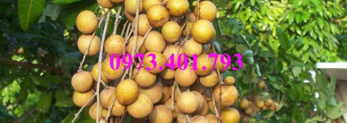 Chuyên Cung cấp các loại  giống cây nhãn uy tín, chất lượng22