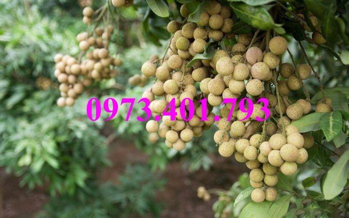 Chuyên Cung cấp các loại  giống cây nhãn uy tín, chất lượng23