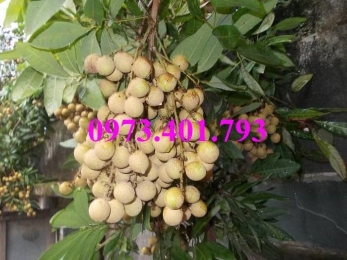 Chuyên Cung cấp các loại  giống cây nhãn uy tín, chất lượng25